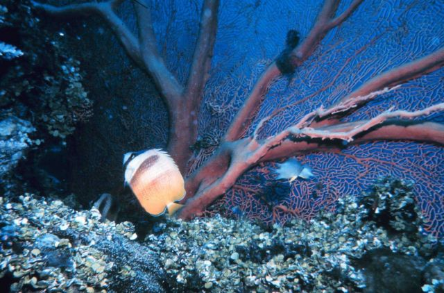 Butterfly fish and seafan Picture