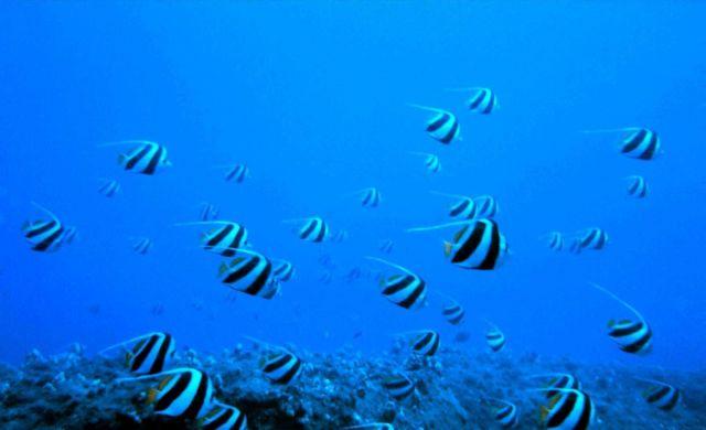 Schooling bannerfish (Heniochus diphreutes) Picture