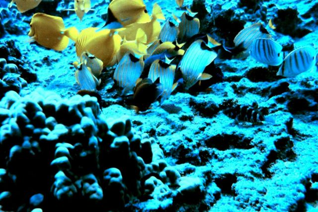 Beautiful assemblage of yellow tang and various butterfly fish and a few other reef fish. Picture