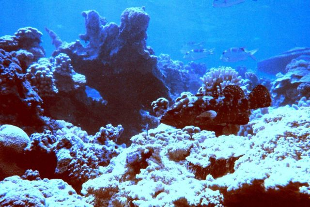 Marbled grouper (Epinephelus polyphekadion) blending in with reef. Picture