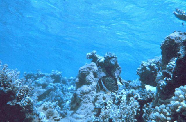 Whitespotted surgeonfish (Acanthurus guttatus) Picture