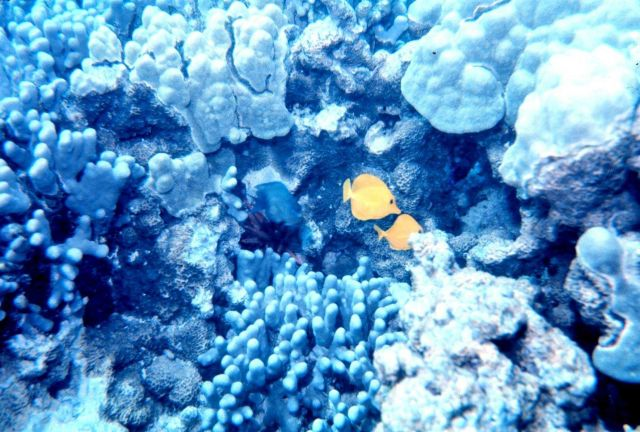 Yellow tang (Zebrosoma flavescens) silhouetted against white coral. Picture