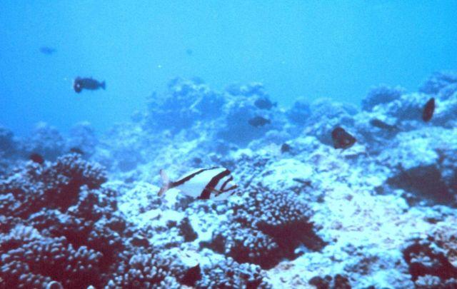 Hawaiian morwong Picture
