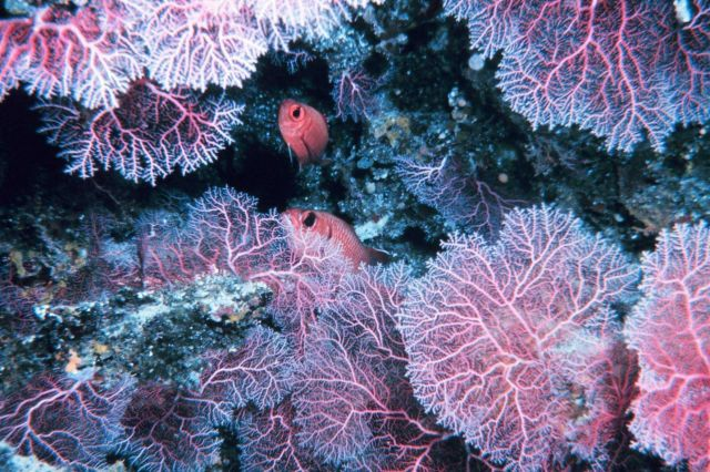 Soldierfish and a beautiful pink coral garden. Picture