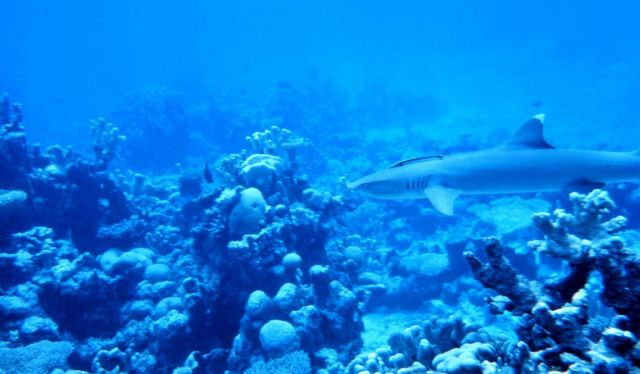 Whitetip shark cruising the reef. Picture