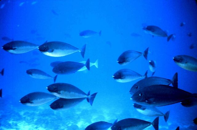 Surgeonfish Picture