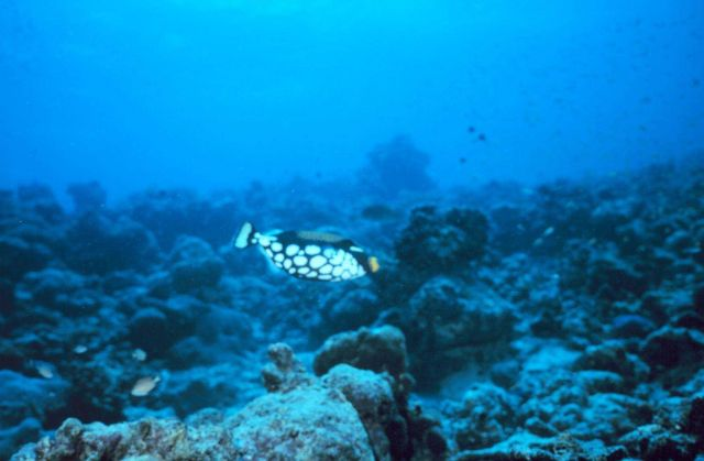 Clown triggerfish (Balistoides conspicillum) Picture