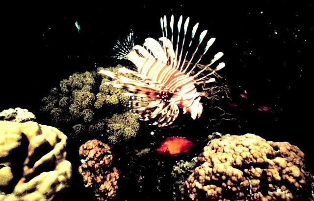 Lionfish Picture