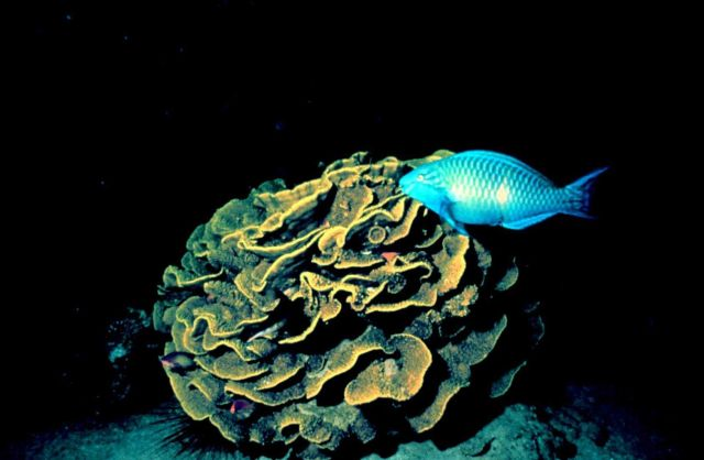 Cabbage coral with parrot fish Picture
