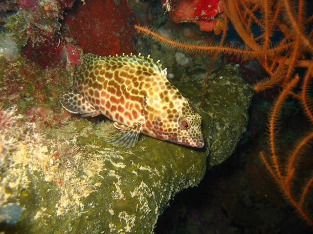 A close-up of the grouper in image reef0514. Picture