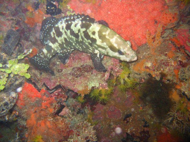 A grouper (Epinephelus sp.). Picture