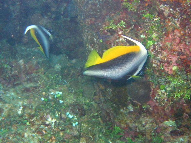 Masked bannerfish (Heniochus monoceros). Picture