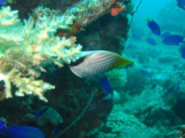 Threadfin butterfly (Chaetodon auriga). Picture