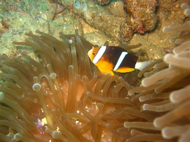 Orange-finned clownfish (Amphiprion chrysopterus) with sea anemone Picture
