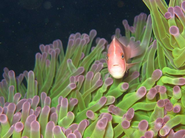 Pink clownfish (Amphiprion perideraion) with sea anemone Picture