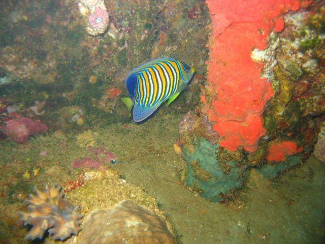 Regal angelfish (Pygoplites diacanthus). Picture