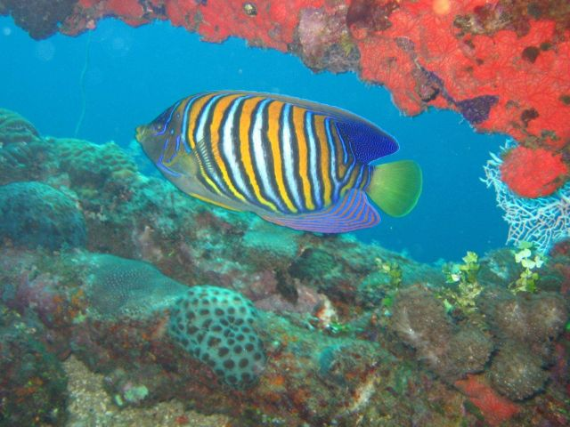 Regal angelfish (Pygoplites diacanthus). Picture