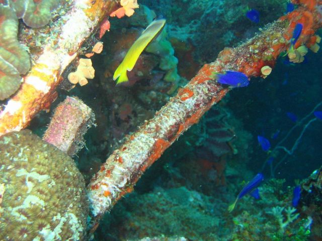 Blue damselfish (Chromis sp.) and blacklip butterfly fish. Picture