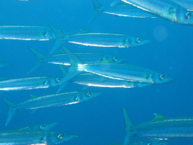 Barracuda (Sphyraena sp.) Picture