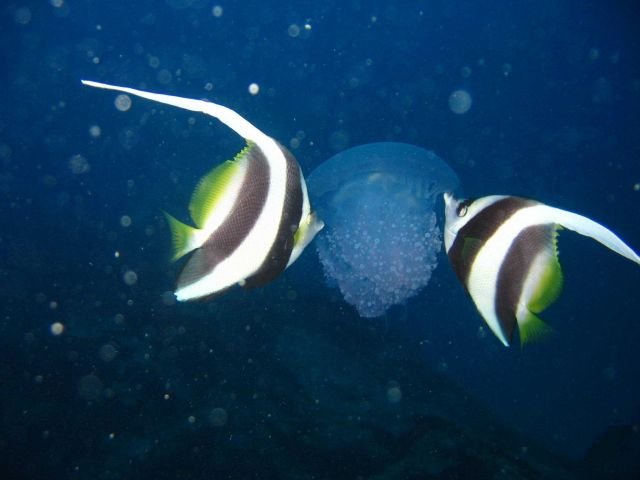 Jellyfish being nibbled on by longfin bannerfish (Heniochus acuminatus). Picture