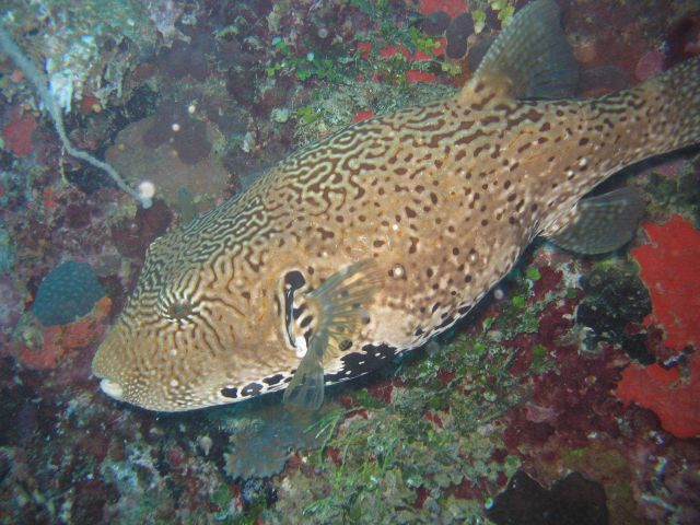 Pufferfish (Arothron sp.) Picture