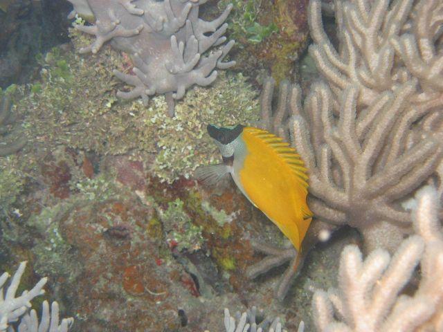 Foxface rabbitfish (Siganus vulpinus). Picture