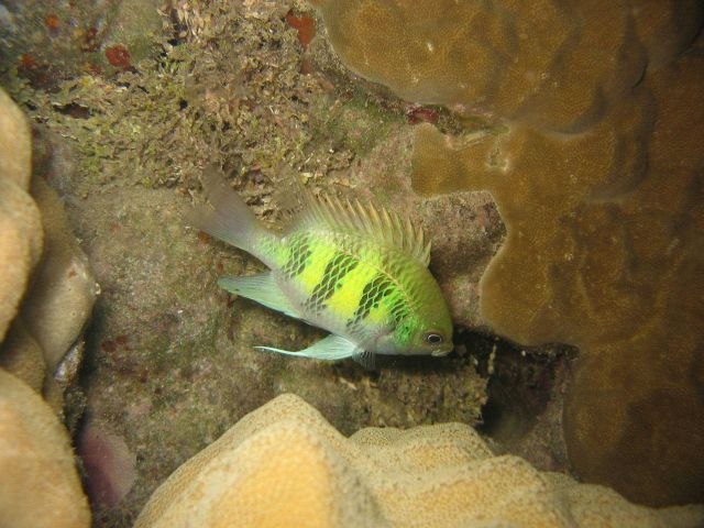 Staghorn damselfish (Amblyglyphidodon curacao). Picture