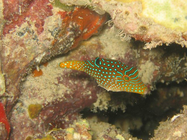 Papuan toby, also known as sharpnose pufferfish, (Canthigaster papua). Picture