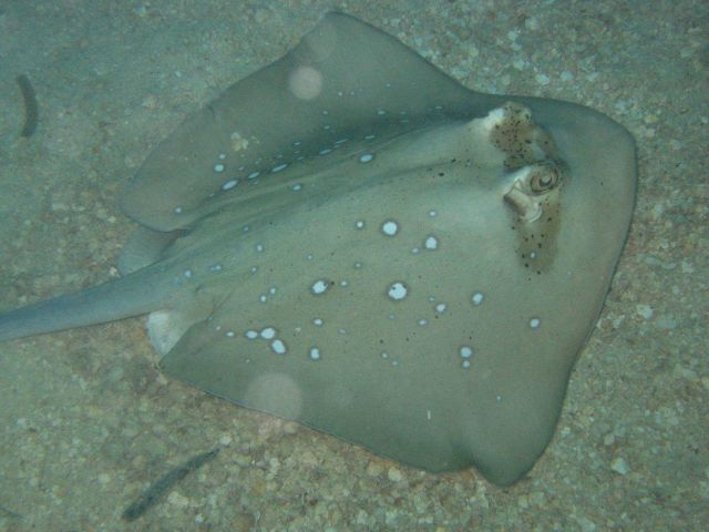 A blue-spotted stingray (Dasyatis kuhlii) on the bottom. Picture