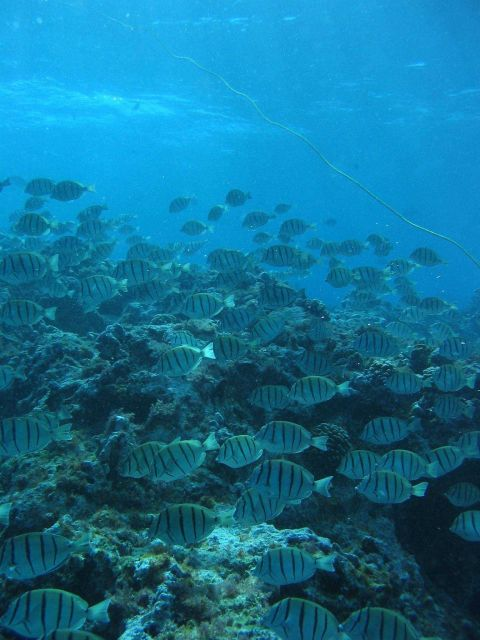 A school of convict tangs (Acanthurus triostegus) Picture