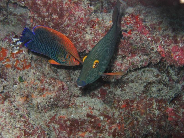 Potter's angelfish (Centropyge potteri) on the left and surgeonfish (Ctenochaetus strigosus) Picture