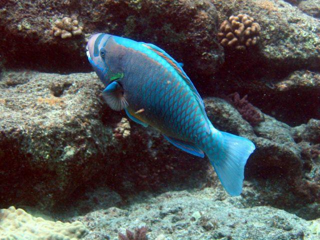 Parrotfish (Chlorurus perspicillatus) Picture