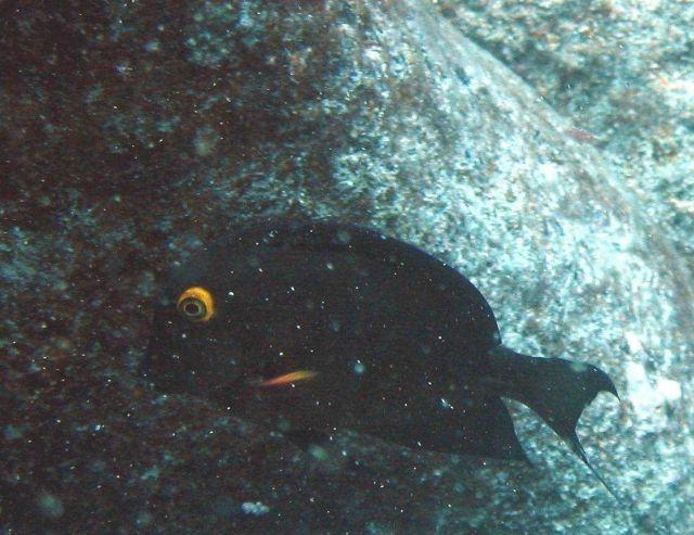 Surgeonfish (Ctenochaetus strigosus) Picture