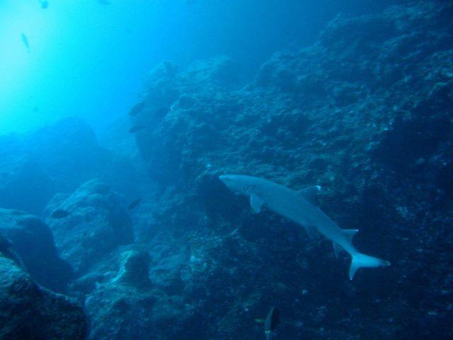 A white-tip shark (Triaenodon obesus) Picture