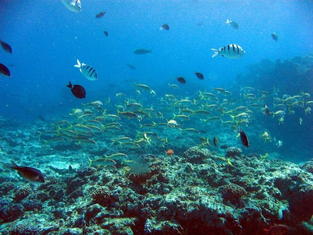 Goatfish are yellow fish while sergeant major fish are white with black stripes. Picture