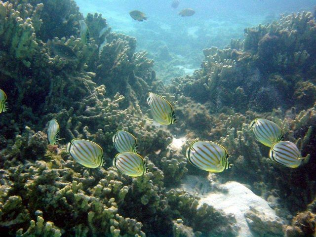 Butterfly fish (Chaetodon multicinctus) Picture