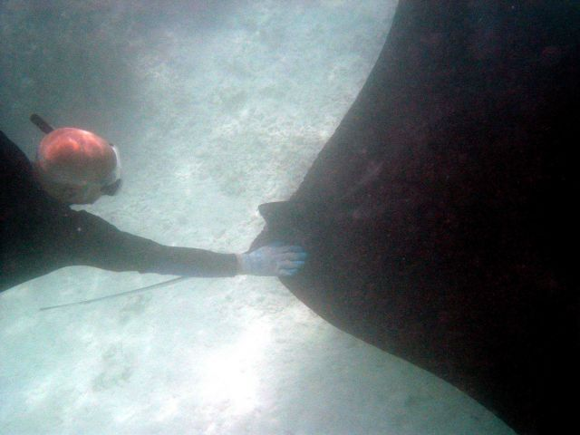 A large manta ray (Manta birostris). Picture