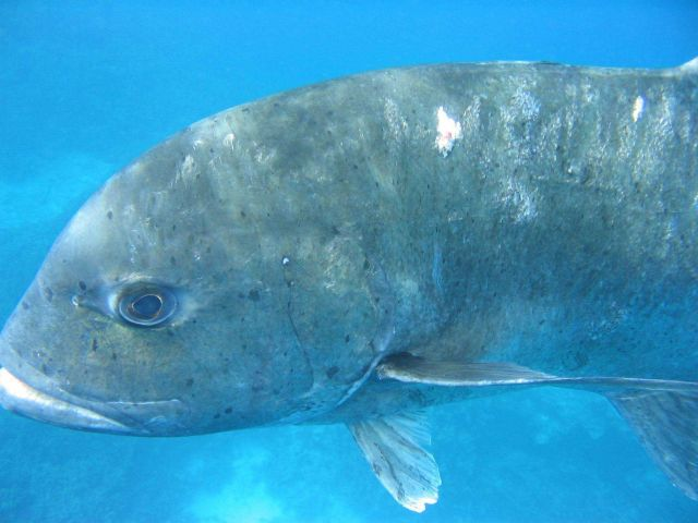 A giant trevally Picture