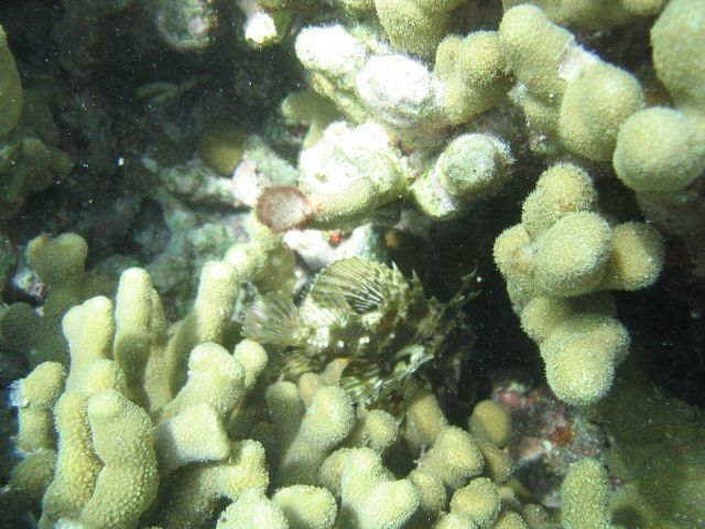 Small scorpionfish in porites coral. Picture