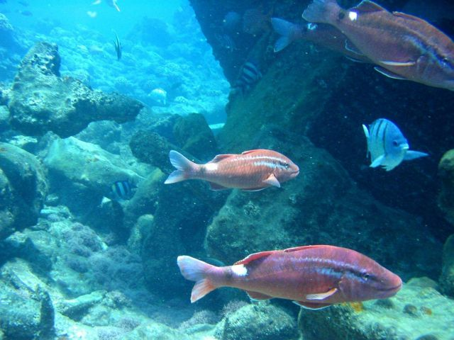 Whitesaddle goatfish (Parupeneus porphyreus) in foreground Picture