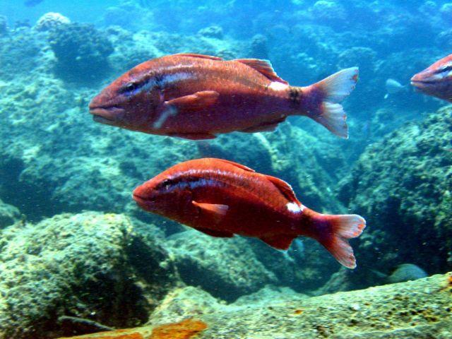Whitesaddle goatfish (Parupeneus porphyreus) Picture