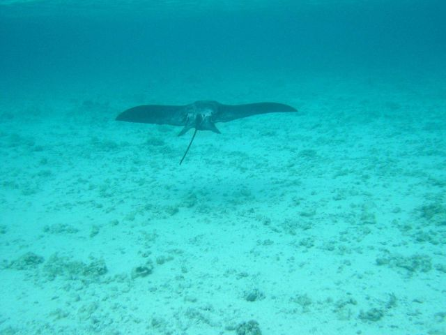 Manta ray cruising over sand flat. Picture
