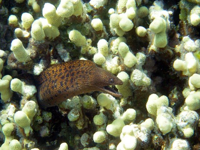 A stout moray eel (Gymnothorax eurostus). Picture