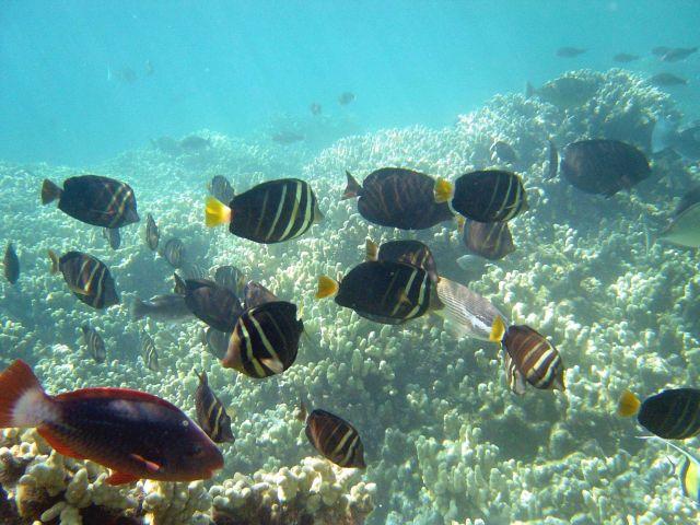 Sailfin tang surgeonfish (Zebrasoma veliferum) Picture