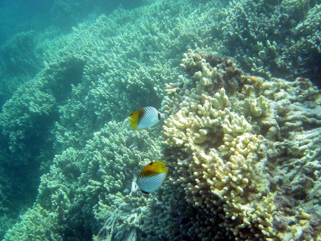 Threadfin butterfly fish (Chaetodon auriga) Picture