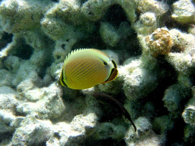 Oval butterfly fish (Chaetodon lunulatus). Picture