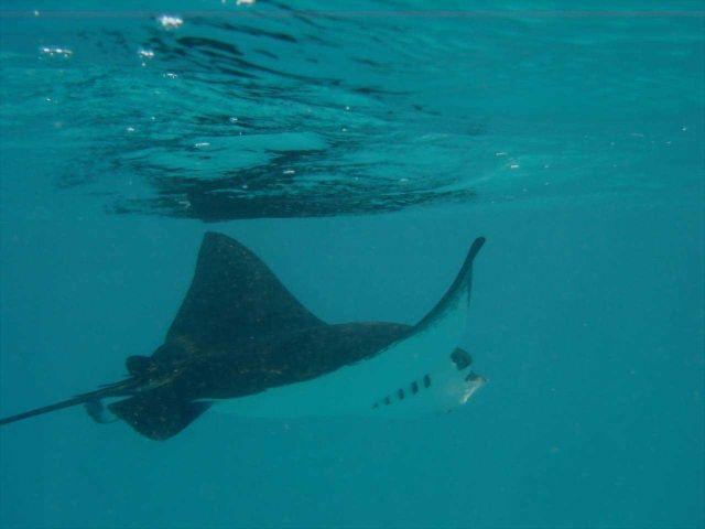 A manta ray (Manta birostris). Picture