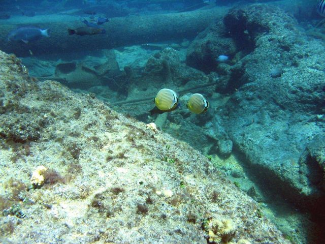 Oval butterfly fish (Chaetodon lunulatus) Picture