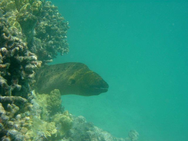 Large moray eel (Gymnothorax sp.). Picture