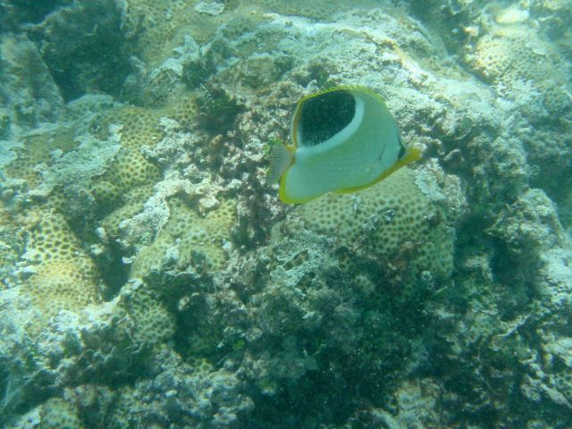 A saddleback butterfly fish (Chaetodon ephippium) in the foreground Picture